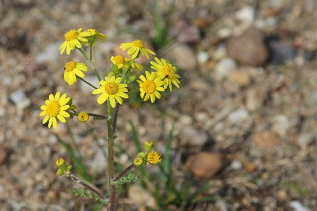 The British Horse Society has concerns about ragwort     Picture: Pixabay