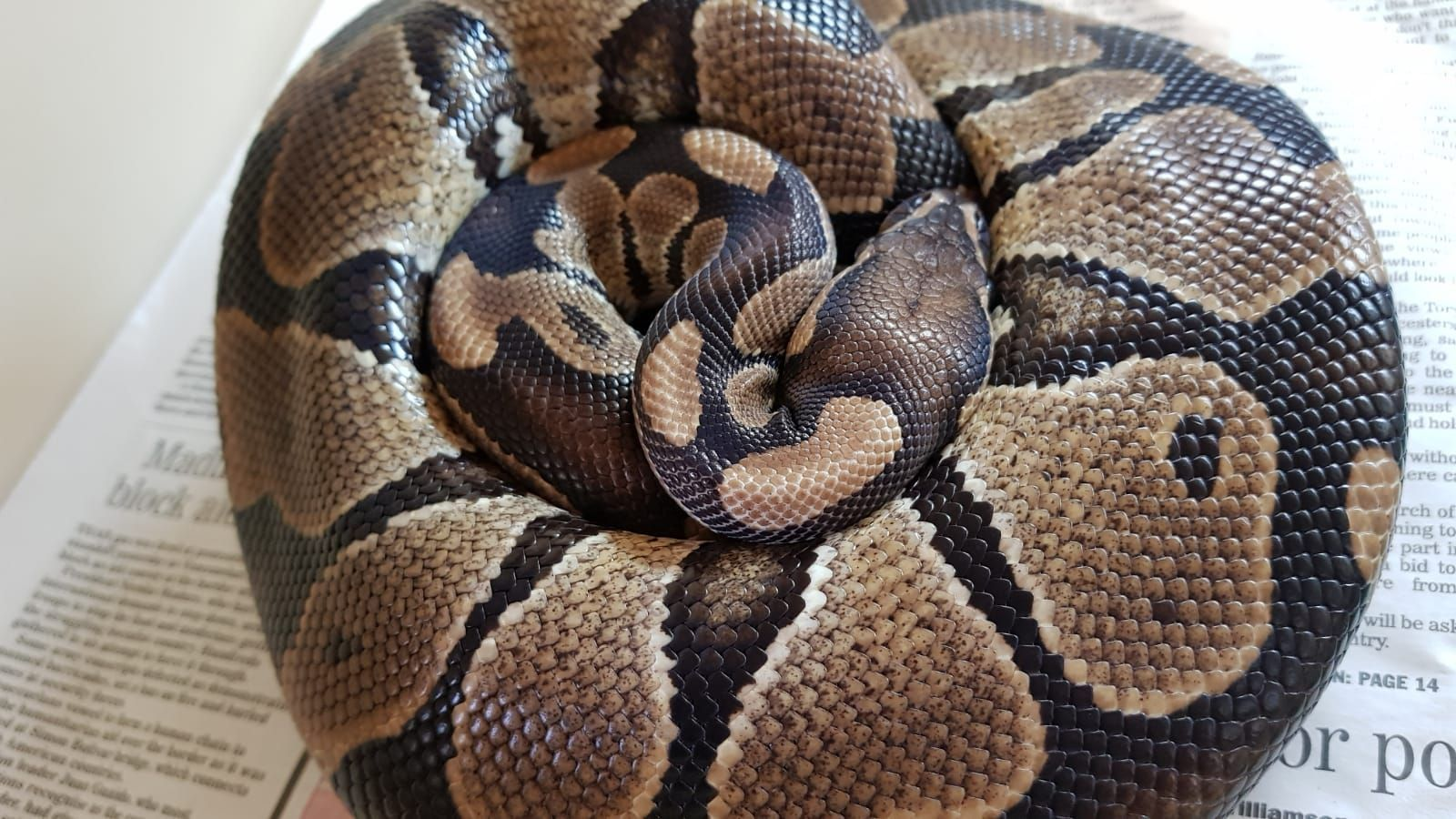 Snake feared abandoned being cared for by RSPCA staff