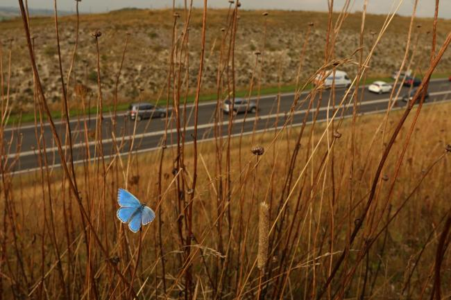 Adonis Blue beside Weymouth Relief Road Picture: Will Langdon/Butterfly Conservation