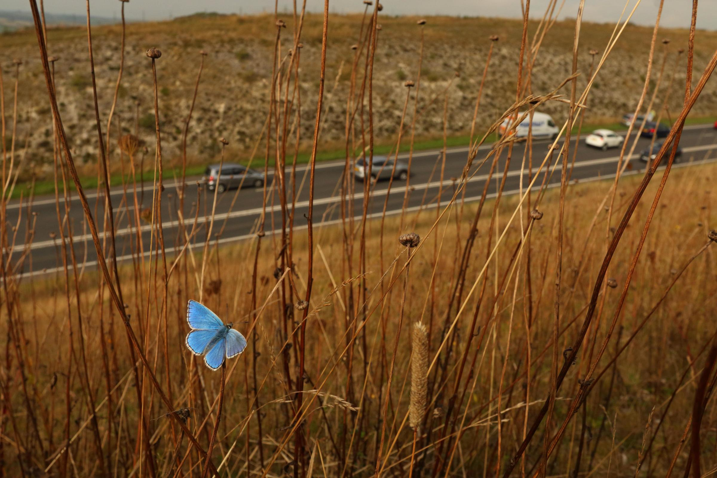 Butterfly success story next to Weymouth Relief Road
