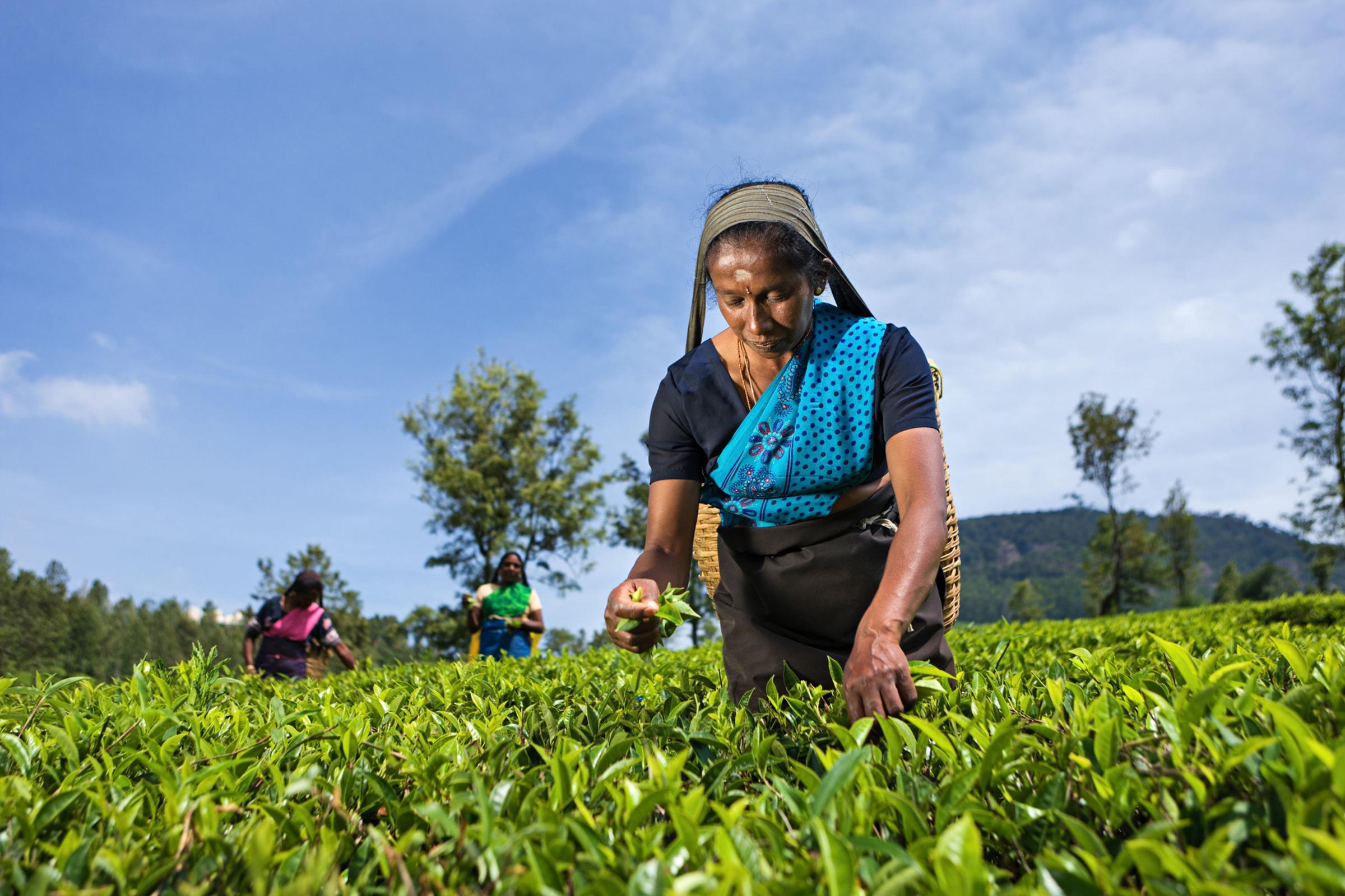 Travel: Taking tea with the true masters in Sri Lanka