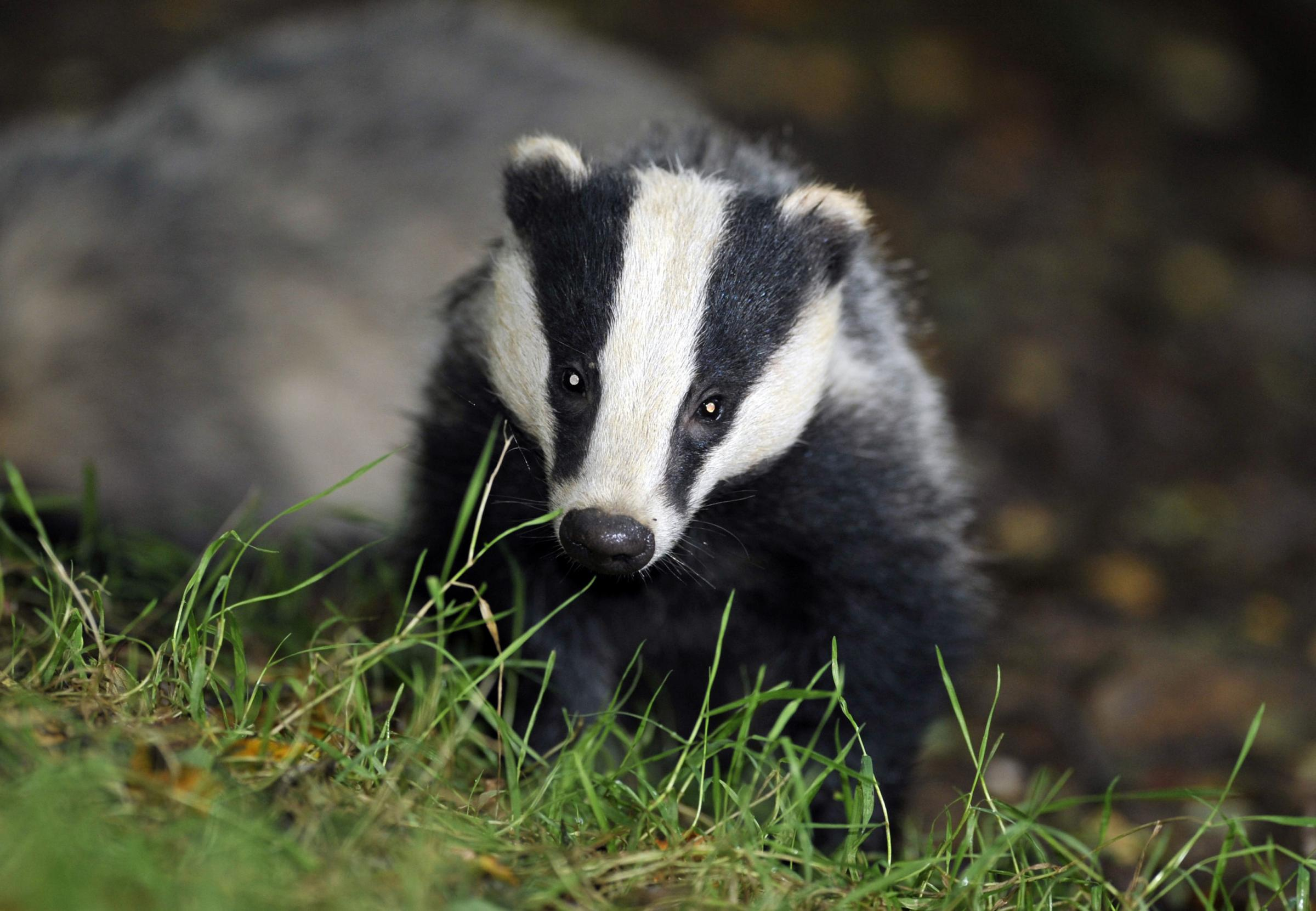 Two years of badger culls in Dorset 'have not reduced level of TB in cattle'