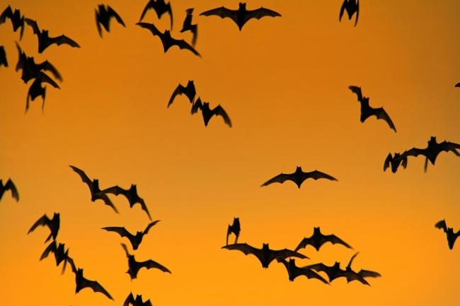 Bat roosts are protected all year round
