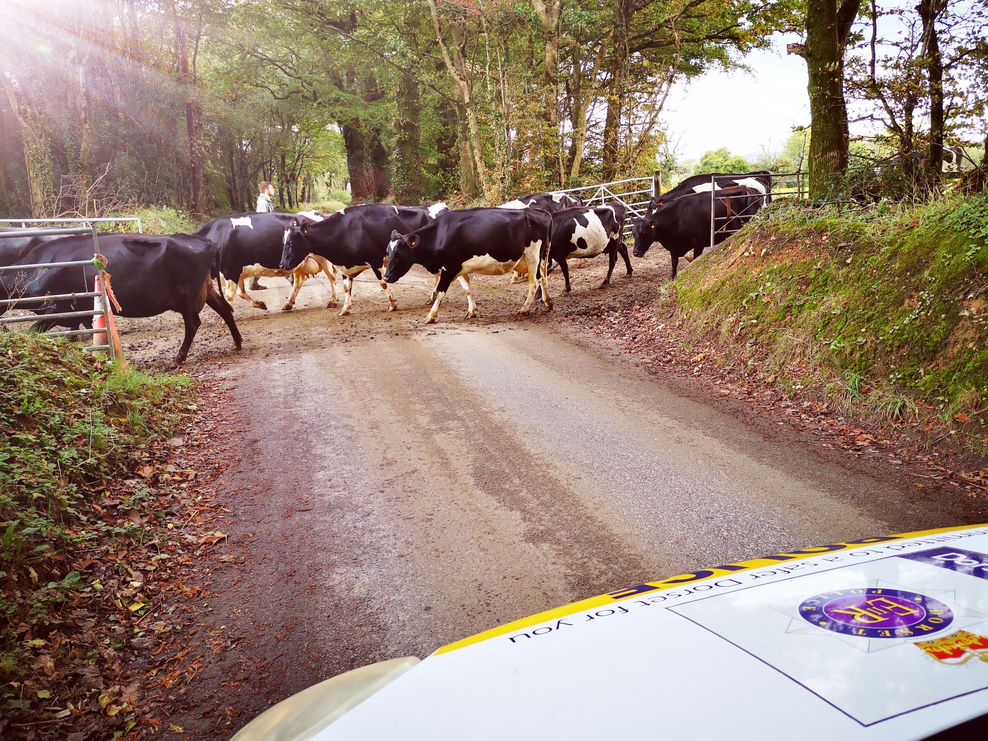 Herd of cows moo-ved on by police