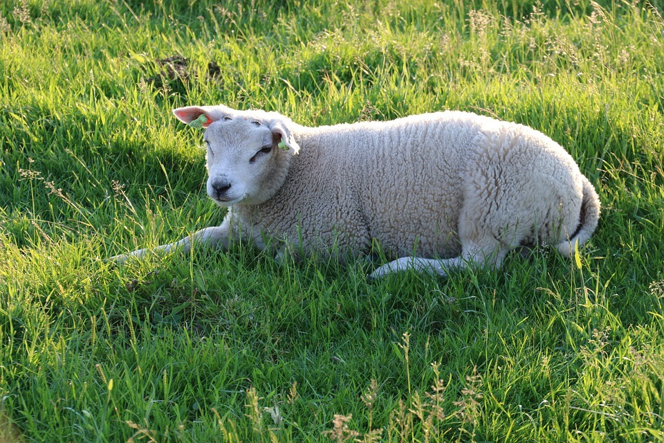 Sheep is 'ripped to pieces' by a dog at a farm near Melplash