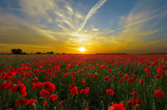 Poppies at sunset Picture: Diego Torres/Pixabay