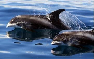 Help needed to study rare dolphins