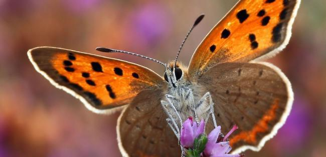 A project aims to reverse declining butterfly populations on Portland	Picture: Matt Berry