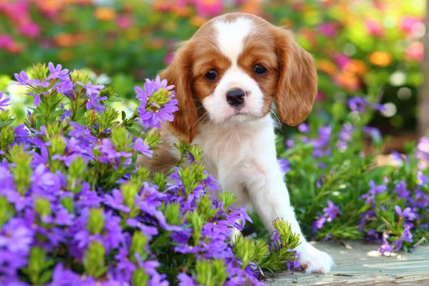 Undated Handout Photo of a spaniel in a garden. See PA Feature GARDENING Dogs. Picture credit should read: iStock/PA. WARNING: This picture must only be used to accompany PA Feature GARDENING Dogs.