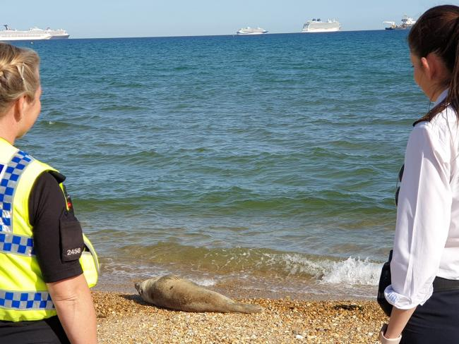Police and RSPCA officers are drawing up a plan to protect the seal