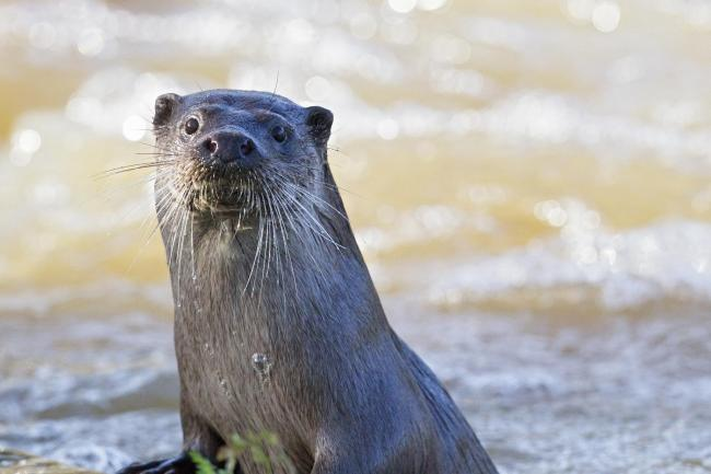 Reports of otters being disturbed in Dorset File picture of an otter by Paul Williams