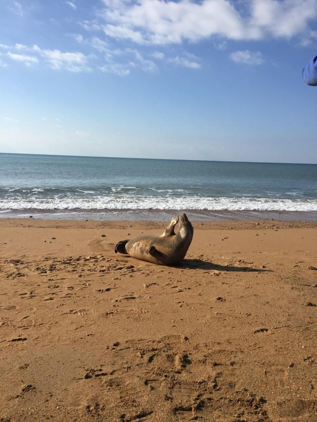 A seal sunbathing on Hive Beach (Picture: Jenny Stewart-Ackroyd)