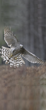 Goshawk in flight