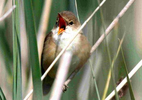 UP AND OUT: A Reed Warbler