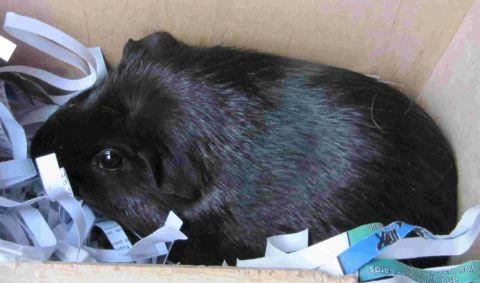 Sweet-natured female guinea pigs