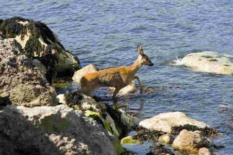 The  Muntjac deer trapped on the rocks  Picture: STEVE COULSON