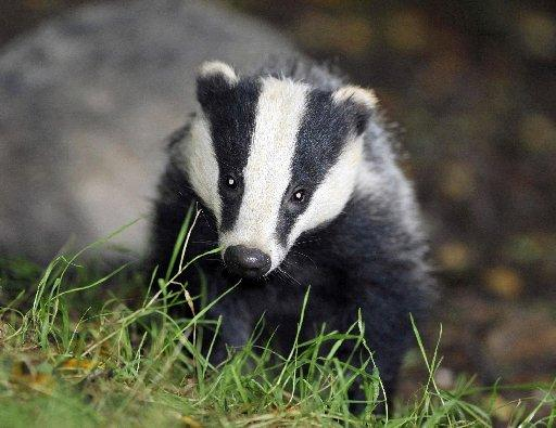 HAVE YOUR SAY: First badger cull licence due to be issued