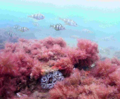 SEA CHANGE NEEDED: Dorset reef habitat with shoal of bib and fanworm