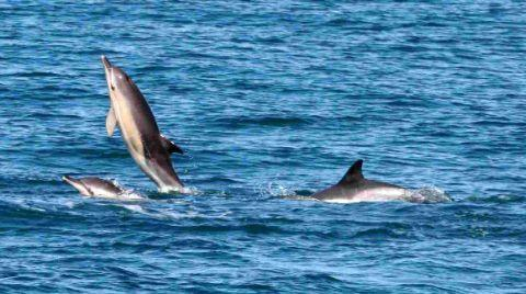 Dorset Echo: MAYA HELP? White-beaked dolphins and common dolphins in Lyme Bay