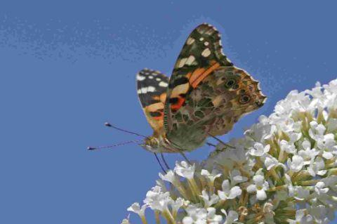 IN A FLAP: The painted lady butterfly undertakes a 9,000-mile migration journey