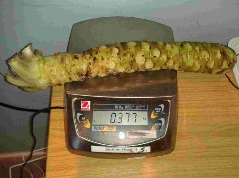 MIGHTY VEG: The record-breaking wasabi rhizome grown in Dorset was bought at auction by Raymond Blanc