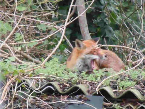 A YAWN FIRST THING: The fox on top of Katy Phillips's garden shed in Weymouth