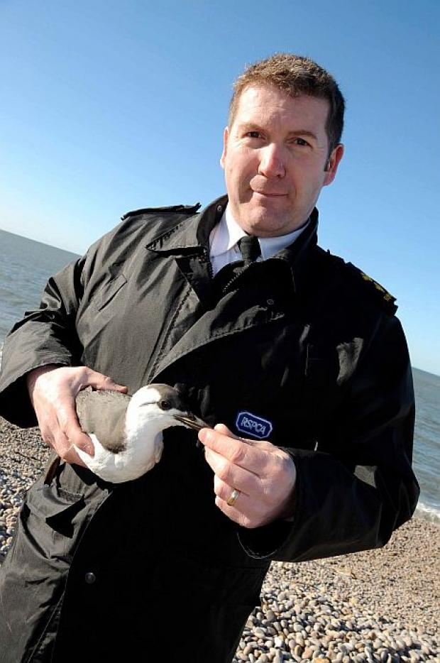 Dorset Echo: RSPCA Inspector John Pollock with one of the guillemots washed ashore