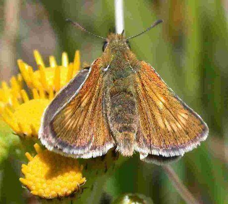 DECLINE: The Lulworth skipper (picture: Tom Brereton/Butterfly Conservation)