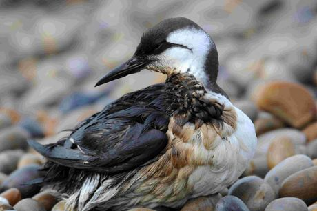 DEVASTATED: seabird at Chesil Cove