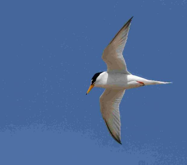 Rare Chesil beach terns get protection