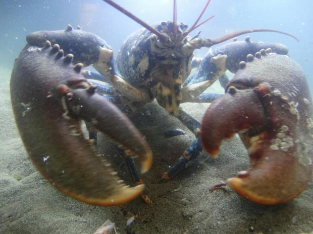 Dorset Echo: 1,000 baby lobsters to be released off Dorset coast