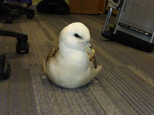 Dorset Echo: DISTRESSED: Rescued Fulmar from Chesil Beach waits to be collected from the office at Chesil. Picture by Angela Thomas
