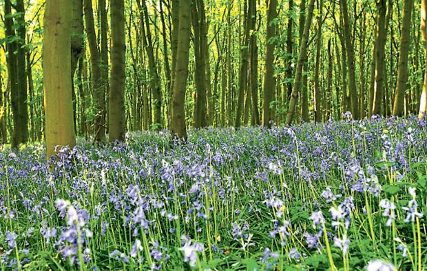 WOODLAND WONDER: Bluebells are a magical sight at this time of the year