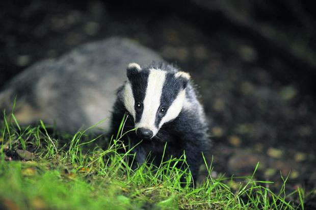 Dorset spared badger cull - for now