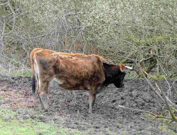 A cow in the field near Toller Porcorum