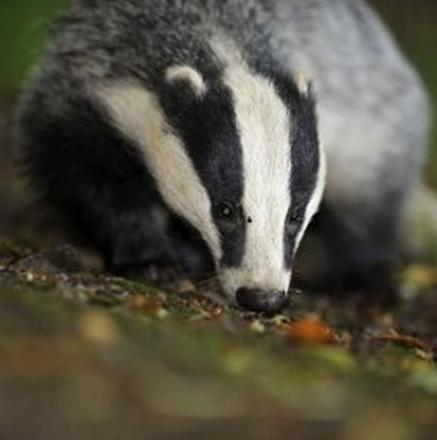 Badger cull protesters to march through Dorchester