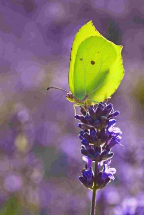 LACKING IN NUMBERS: The sulphur-coloured Brimstone