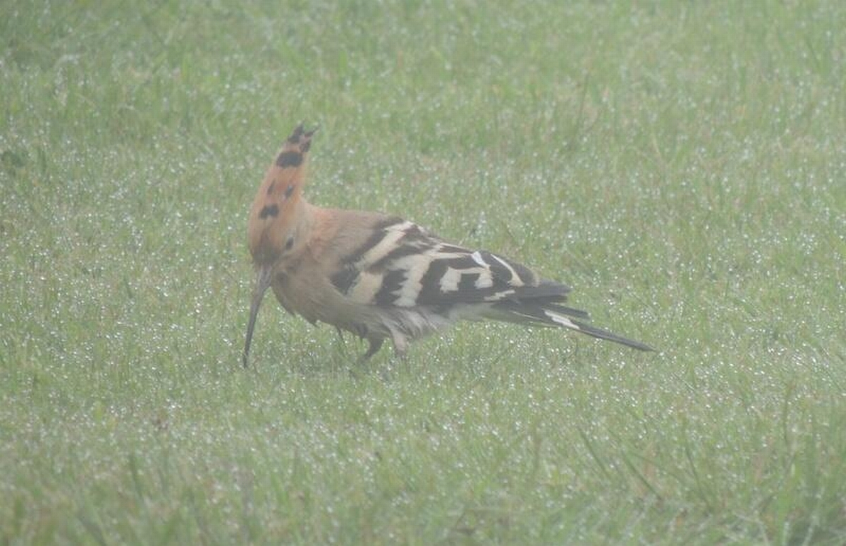 Rare Hoopoe bird spotted in Dorset