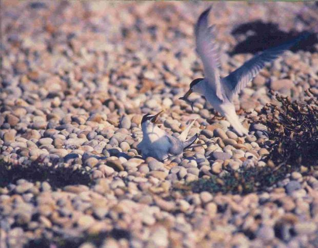 RARE FIND: LIttle Terns on Chesil Beach