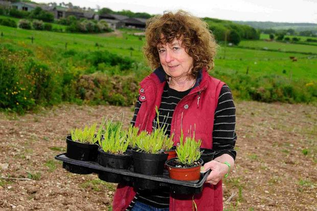 SWEET SMELL: Lynda Pain with a tray of lavender ready for planting