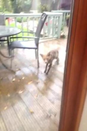 Foxy visitor spotted in Dorchester garden