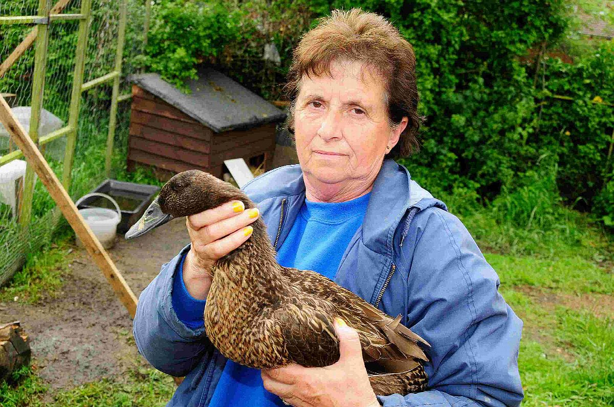 BACK HOME: Janet Barnes with her third duck which came back