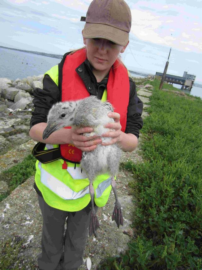 YOU RANG?  Megan Sherbsy with a Great Black-backed Gull chick