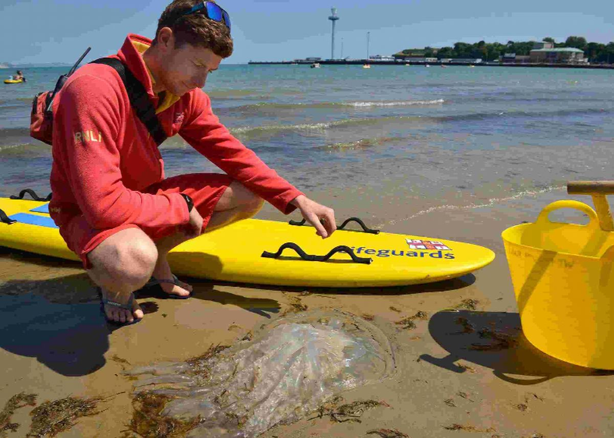 HERE'S ANOTHER ONE: An RNLI Lifeguard at Weymouth dealing with yet another washed up jellyfish on the beach