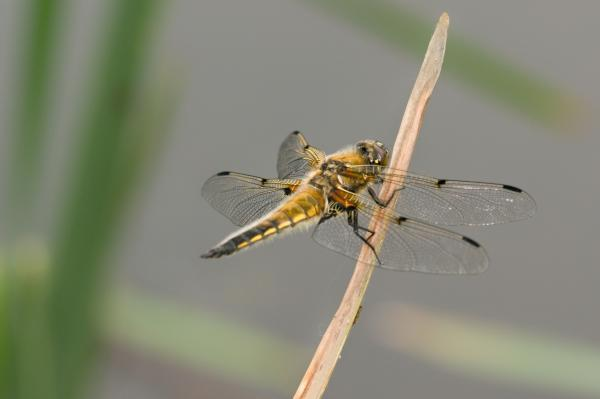 Want to see the Lesser Emperor dragonfly? you'd better head to Moors Valley