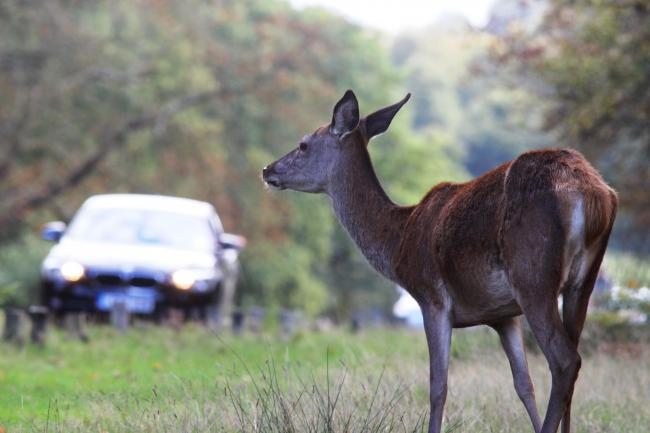 A deer at the scene of a crash. Pic supplied, please credit the Deer Initiative. (25949688)