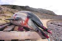 TRAGEDY: A dead dolphin washed up at Chiswell after the oil spill from the stricken Napoli