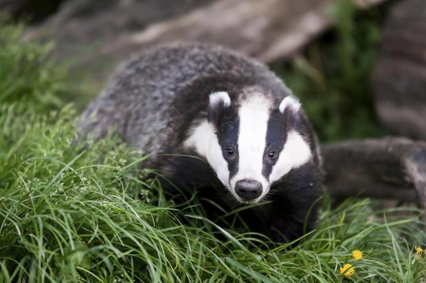 Badger cull set to begin again in Dorset