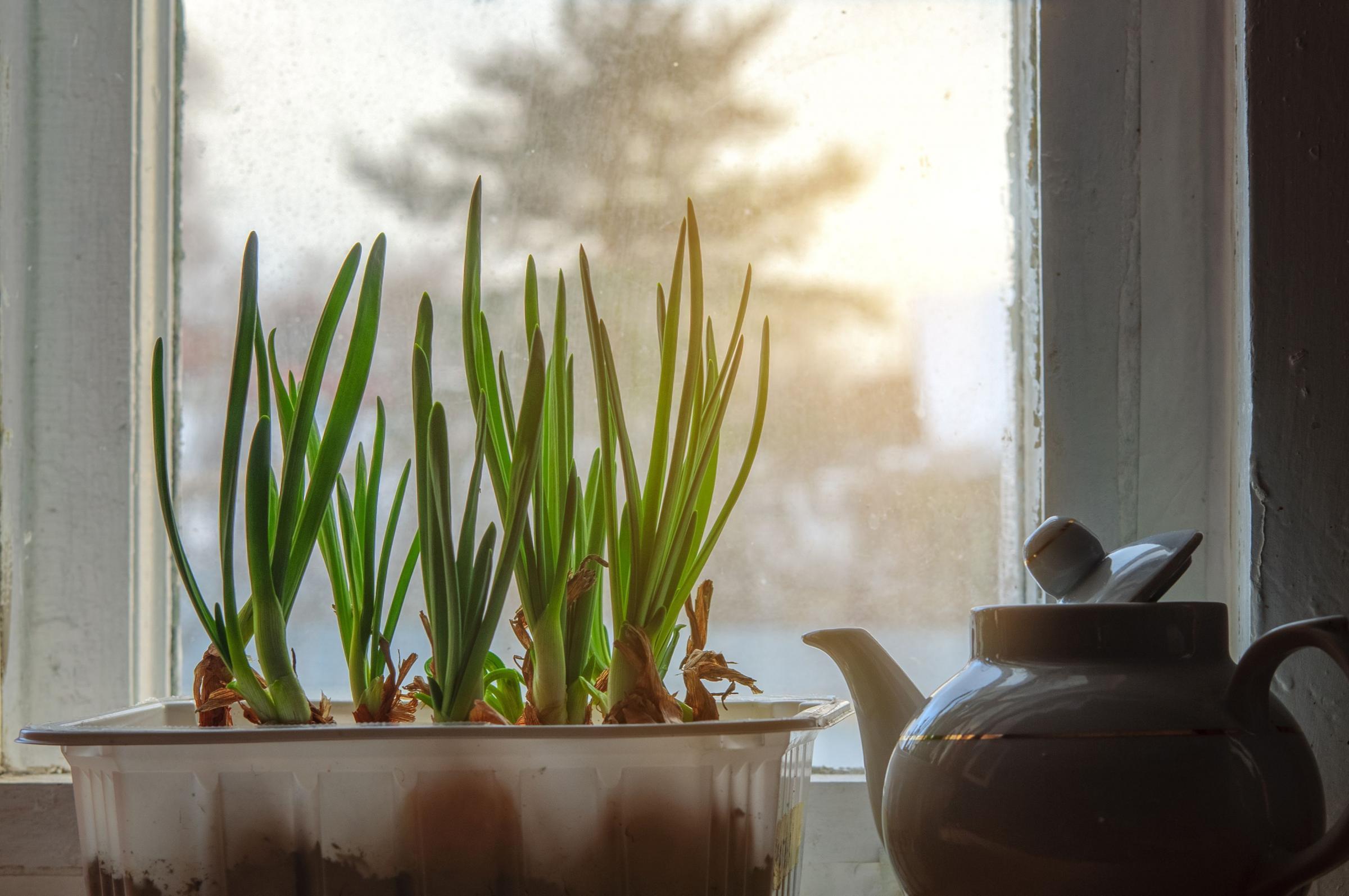 Выращивание зелени в домашних