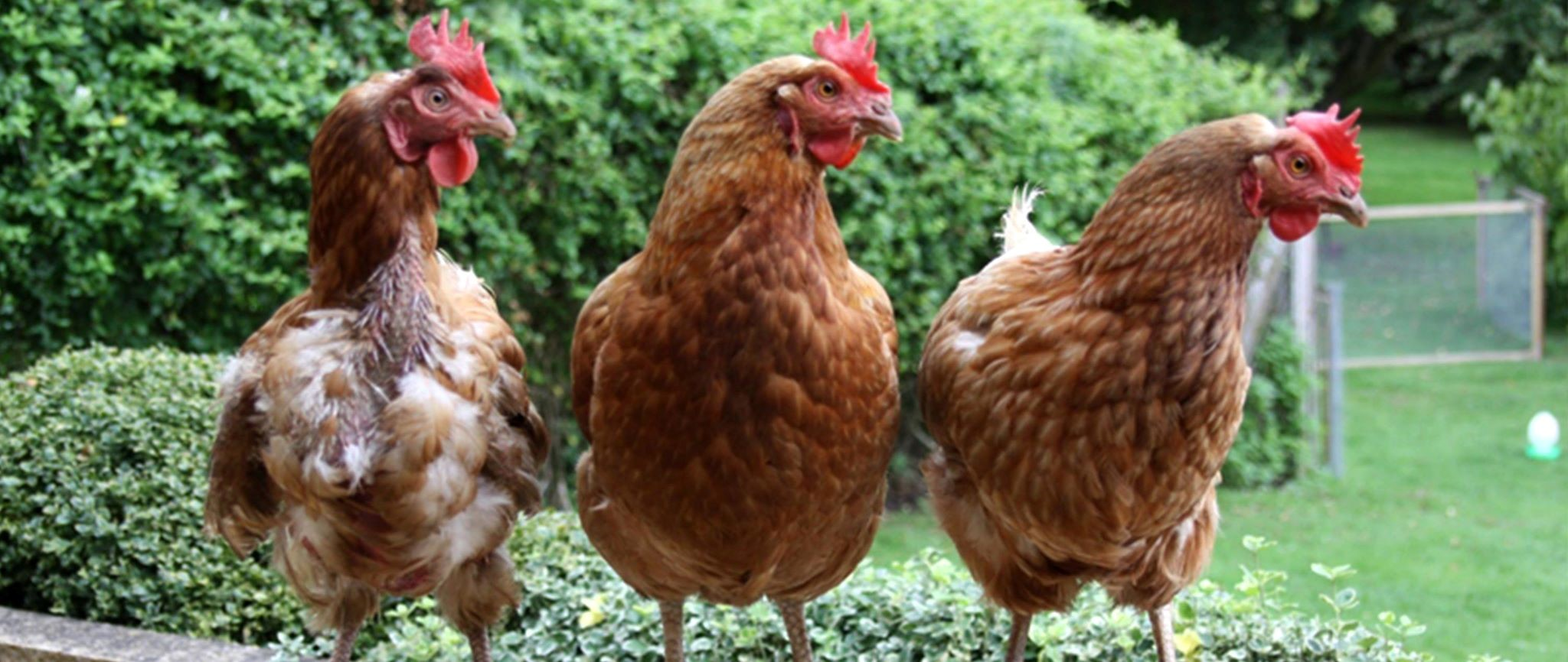 APPEAL: Dozens of hens are still without homes. Picture: British Hen Welfare Trust